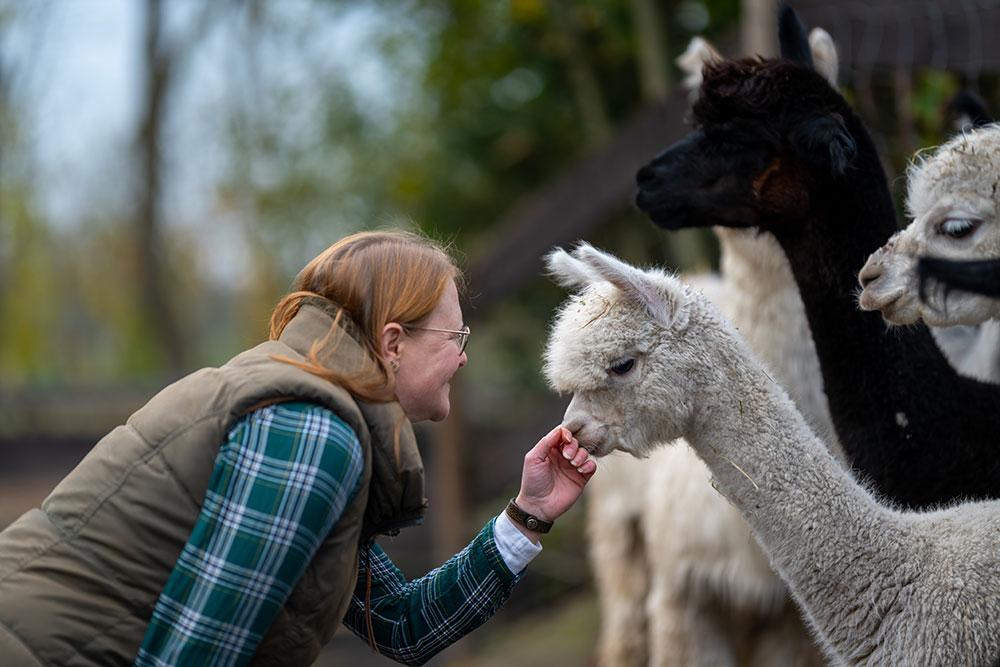 Rendezvous mit Alpakas